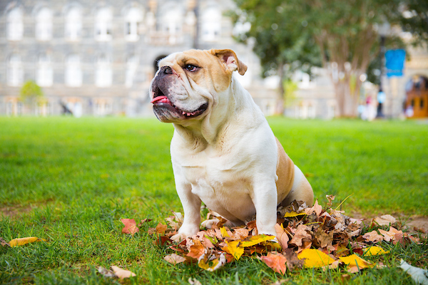Jack the bulldog sitting in a pile of fall leaves on Healy lawn